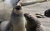 Elephant Seals in San Simeon — Stock Photo