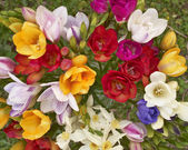 Colorful freesia flowers — Stock Photo