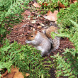 Cute grey squirrel, Hyde park — Stock Photo