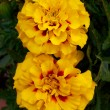 Two yellow  marigold flowers closeup — Foto de Stock