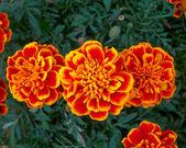 Orange marigold flowers closeup — Stock Photo