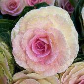 Couves-de-rosa pintadas-flores — Foto Stock