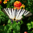 Beautiful swallowtail butterfly — Stock Photo