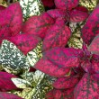 Coleus plant foliage — Stock Photo