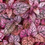 Coleus plant foliage — Stock Photo