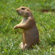 Prairie dog watching — 图库照片
