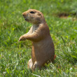 Prairie dog watching — Stock Photo