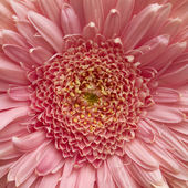 Pink Gerber daisy — Stock Photo