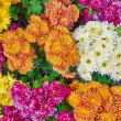 Stock Photo: Colorful chrysanthemums floral background