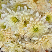 Chrysanthemums floral background — Stock Photo