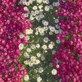 White & fuchsia daisies stripes — Foto de Stock