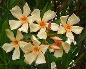 Oleander bouquet closeup — Stock Photo