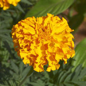 Marigold flower closeup — Stock Photo