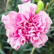 Stock Photo: Pink carnation flower