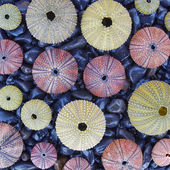 Colorful sea urchins on black pebbles — Stock Photo