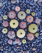 Colorful sea urchins on black pebbles — Foto de Stock