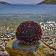 Sea urchin on pebble and pristine blue sea — Stock Photo