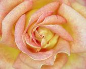 Rose closeup, romantic background — Foto de Stock