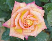 Rose closeup, romantic background — Stock Photo