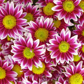 Violet white colored chrysanthemums — Stock Photo