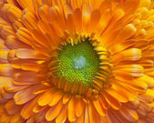 Orange calendula flower — Stock fotografie