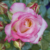 Pink and pale white rose — Stock Photo