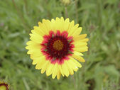 Yellow gazania flower — Stock Photo