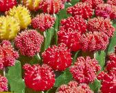 Cactus flowers closeup — Stock Photo