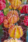 Cactus flowers closeup — Stock fotografie