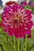 Dahlia flower closeup — Stock Photo
