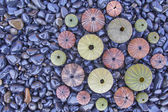 Sea urchins on black pebles beach, natural background — Stock Photo