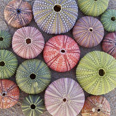 Colorful sea urchins on wet sand beach — Stock Photo