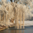 Frozen Willow — Stock Photo