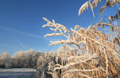 Frozen Reeds in the Park — ストック写真