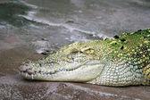 A crocodile resting — Stock Photo