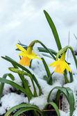 Daffodil Flower — Stock Photo