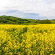 Landscape with yellow rapeseed field  — Stock Photo #41307197