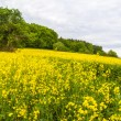Landscape with yellow rapeseed field  — Stock Photo #41307249