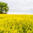 Landscape with yellow rapeseed field  — Stock Photo #41307477