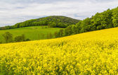 Landscape with yellow rapeseed field  — Stock Photo