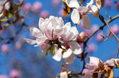 Magnolia tree blossom  — Stock Photo