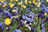Purple Violas and Yellow Tulips — Stock Photo