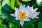 Vackra lotusblomma — Stockfoto