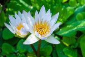 Beautiful lotus flower — Stock Photo