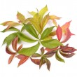 Parthenocissus quinquefolia - Stock Photo