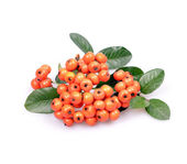 Pyracantha Firethorn orange — Stock Photo
