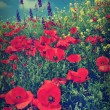 Red poppy - Photo
