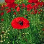 Red poppy — Stock Photo #16795049