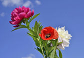 Bouquet of peony, poppy — Stock Photo