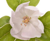Beautiful blooming quince bush — Stock Photo